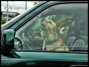 c41-ralph-barrera-angry-dog-driver.jpg