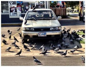 c63-ralph-barrera-pigeons.jpg