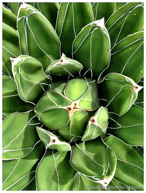 ralph-barrera-cactus.jpg
